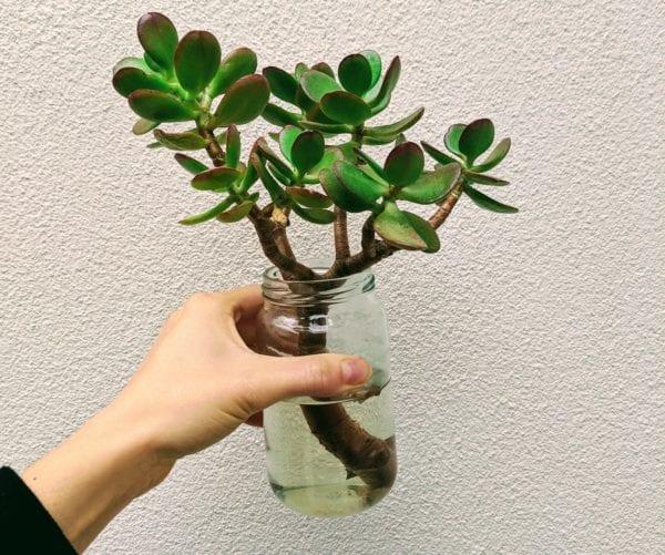 Mayver's Jar Succulent